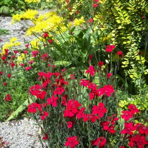 Dianthus and Allium