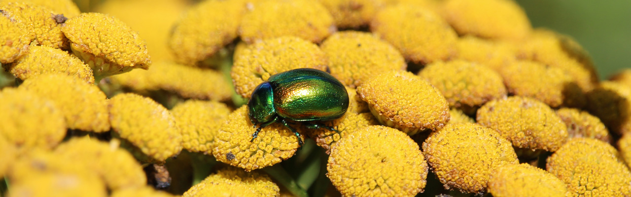 The Tansy Beetle