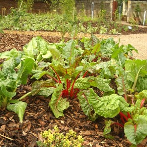 Close-up of Ruby Chard in the Edible Wood