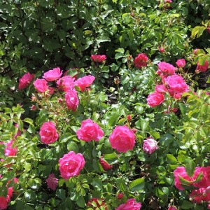Close-up of Rosa 'Pink Flower Carpet' in the Edible Wood